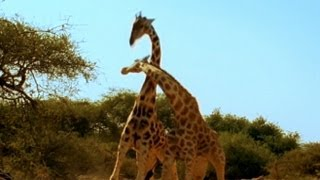 Viral Video: 'Most Violent Giraffe Fight Ever | Good Morning America | ABC News