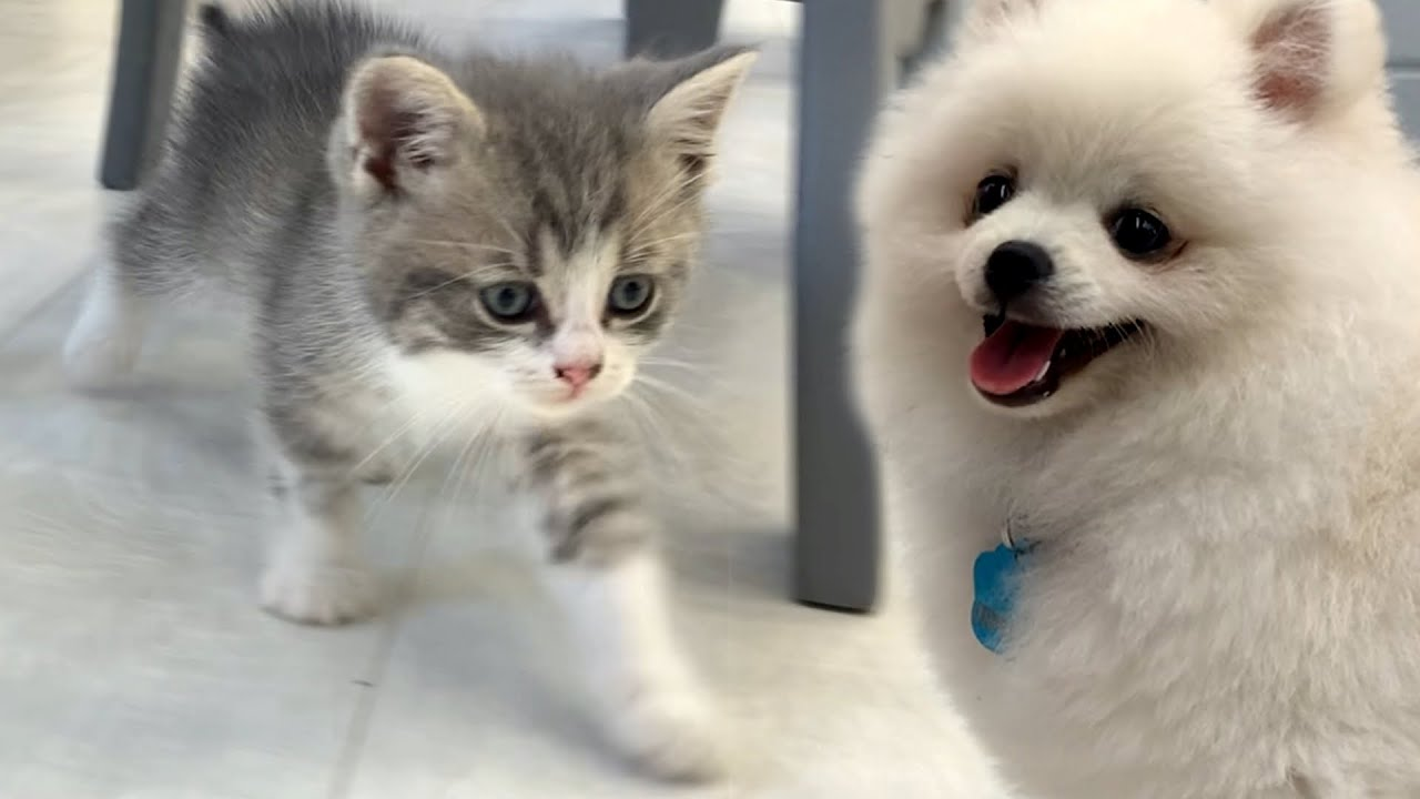Kittens walk with a cute white puppy
