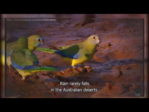 Parrot Documentary    Australia   Land of Parrot   Parrots In Nature English Subtitles