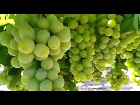 table grapes sudaker seedless