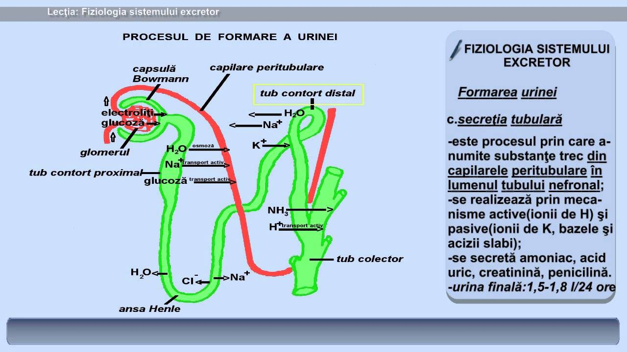 anatomia sistemului excretor