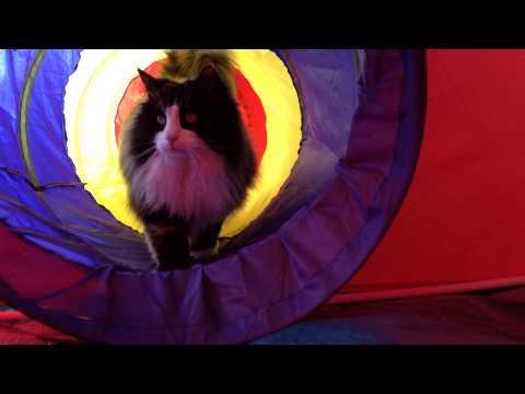 Norwegian Forest Cat - Playhouse  *1080HD*