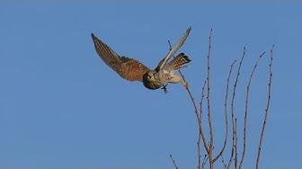 Der Falke auf der jagt .