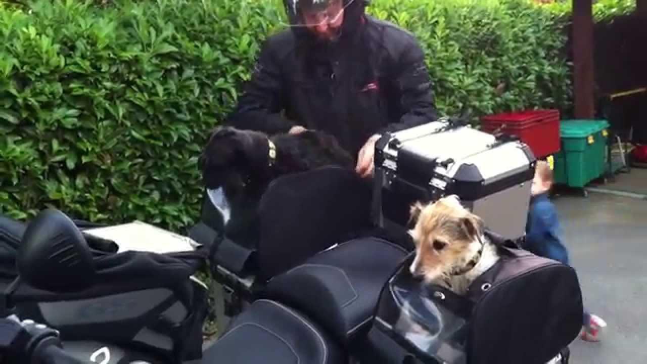 3 chiens motards en BMW 1200 GS Adventure; 3 dogs bikers ...