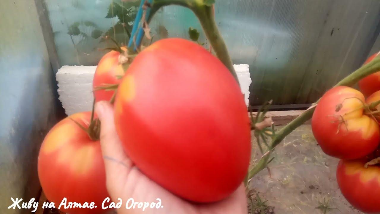 Буду ли ещё выращивать Томаты на плёнке в теплице