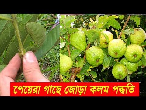 পেয়েরা গাছে জোড় কলম করার পদ্ধতি | guava grafting techniques | How to guava grafting