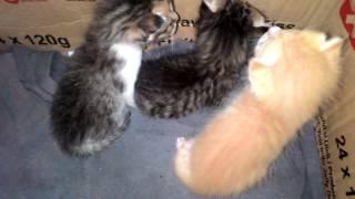 Download Video Lucunya Anak Kucing Kampung MP3 3GP MP4