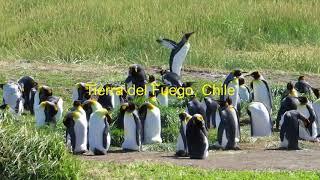 Penguins in Patagonia - Pingüinos en Patagonia - Argentina/Chile