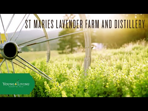st.-maries-lavender-farm-and-distillery-|-young-living-essential-oils