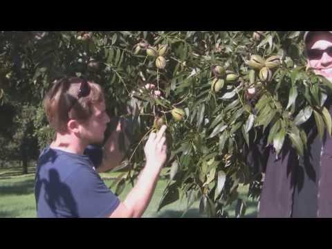**Sumner Pecan Tree** ++Paper Shell Pecan++ Pecans For Florida, TX, GA++