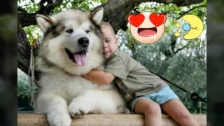 Видео о самых лучших и добрых  собак Аляскинских Маламутов!!!!