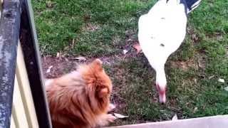 Pomeranian Vs Duck !!! (yummy Yummy Yummy Watch To The End)