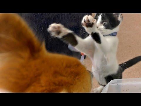 Roku & kitten / ロクさんと子猫 20160826 welsh corgi dog cat  犬 子猫 kitty わんこ にゃんこ