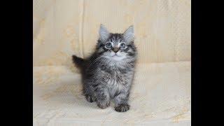 Сибирский котик черный пятнистый табби , Siberian kitten