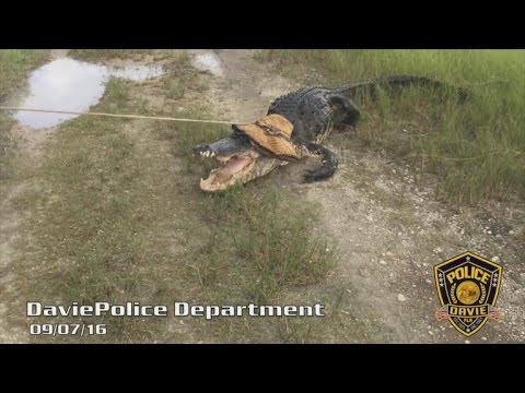 Watch How Police Capture This 450-Pound Snaggle-Toothed Gator Near School