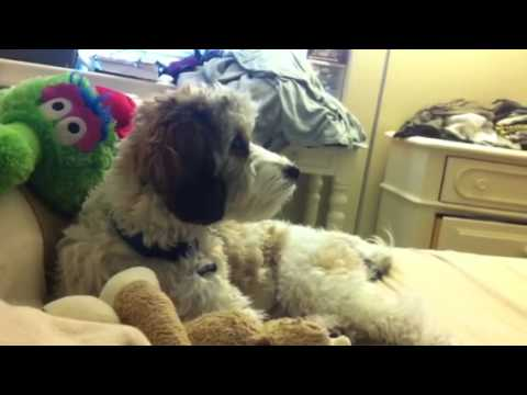 Dexter the Cavachon watching Animal Planet's Too Cute
