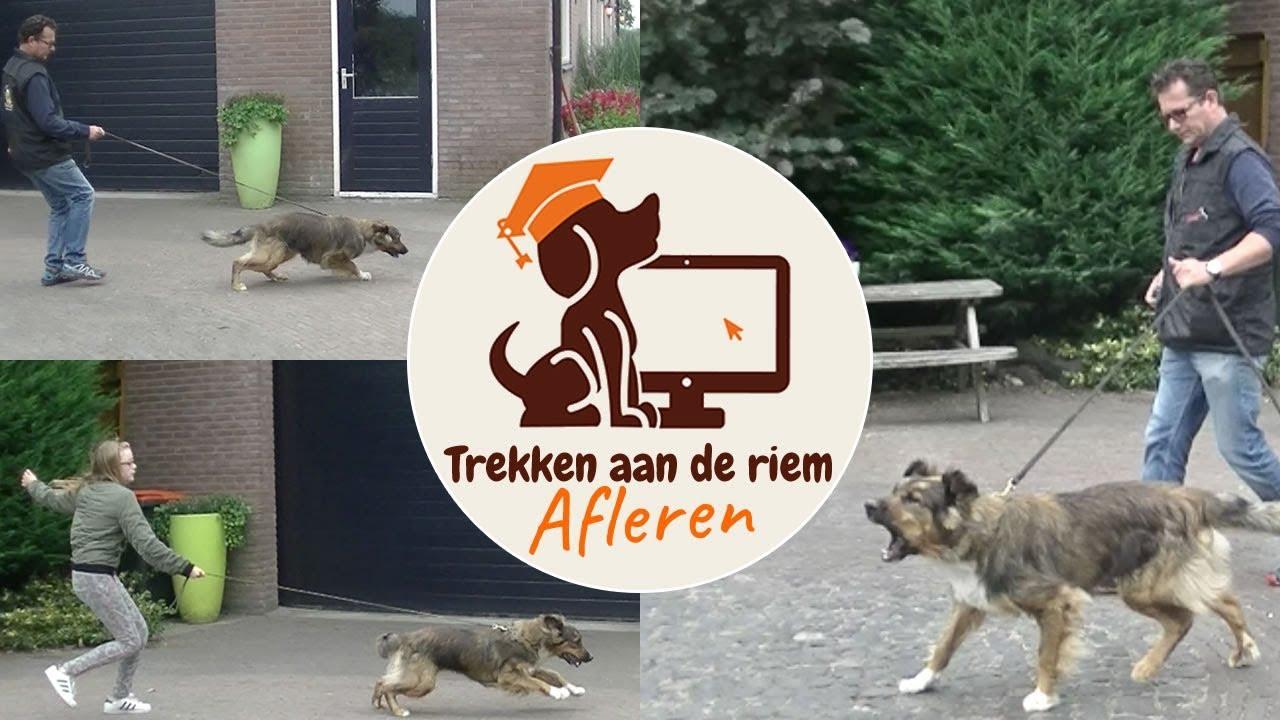 Download Hond leren wandelen zonder trekken - Hond trekt aan de riem afleren