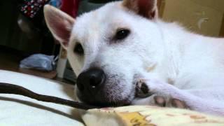 紀州犬のマロ 眠たい所をイタズラ。