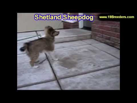 Shetland Sheepdog, Puppies, Dogs, For Sale, In Atlanta, Georgia, GA, Savannah, Sandy Springs