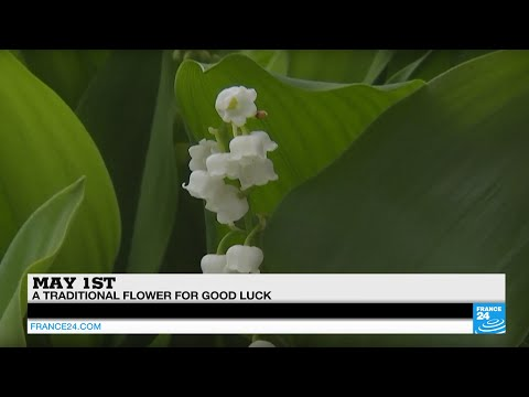May 1st The Lily Of The Valley A Traditional Flower For Good Luck