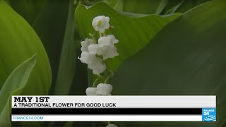 May 1st: the lily of the valley, a traditional flower for good luck and symbol of spring