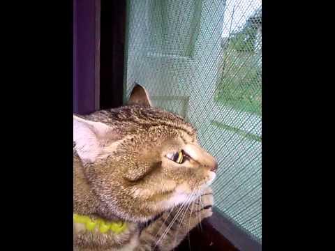 Horny cat singing serenade