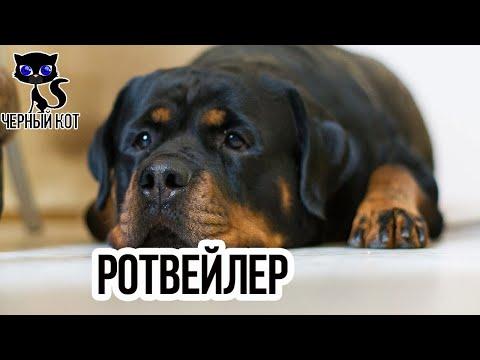 Ротвейлер / Интересные факты о собаках