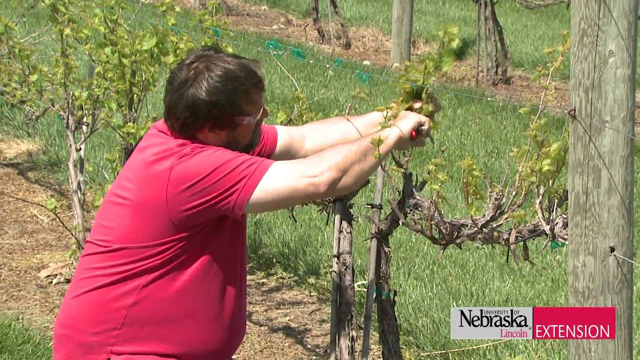 Pruning grapevines funnycat tv - How to prune and train the grapevine ...