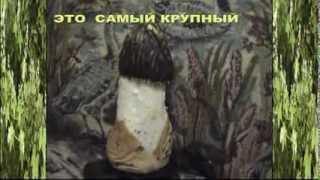 Грибы Весёлки - лечебные грибы.
