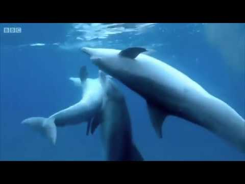 Dolphins Use Puffer Fish To Get High