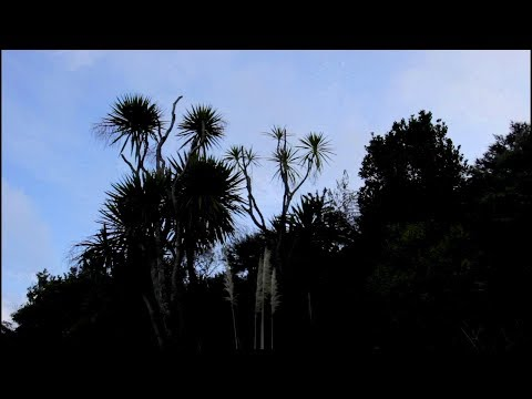 Cabbage Tree. Survival Food From Wild Plants