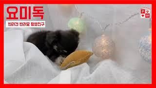 성북강아지분양 사람 좋아하는 장모치와와분양