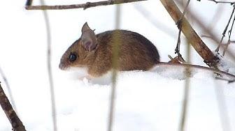 Julinka II - Sněžná myš