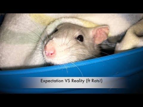Fancy rats as pets - photo#43