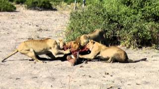 Cruel Nature: Lions eating their prey while it is still alive!