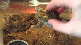 my american toad feeding