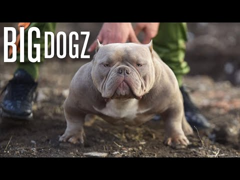 The Muscular Micro-Bully With $10,000 Pups | BIG DOGZ
