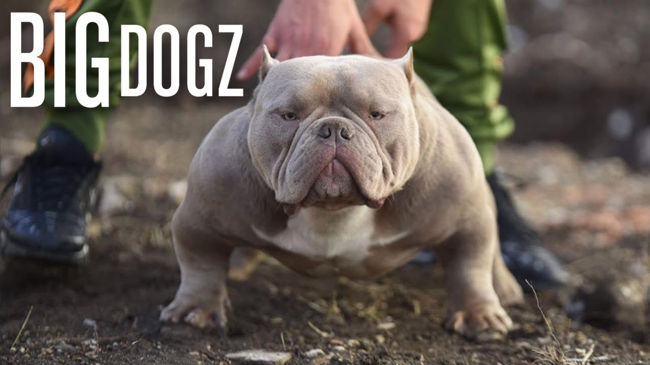 The Muscular Micro Bully With 10 000 Pups Big Dogz Youtube