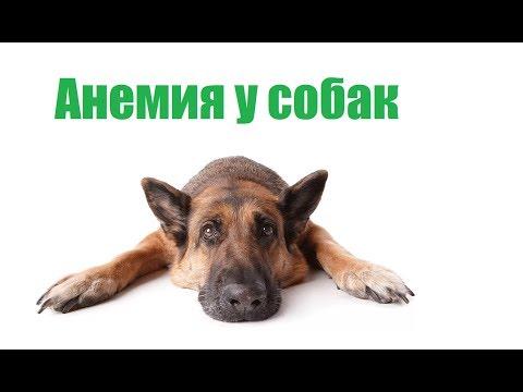 Анемия У Собак & Лечение И Профилактика Анемии У Собаки. Ветклиника Био-Вет