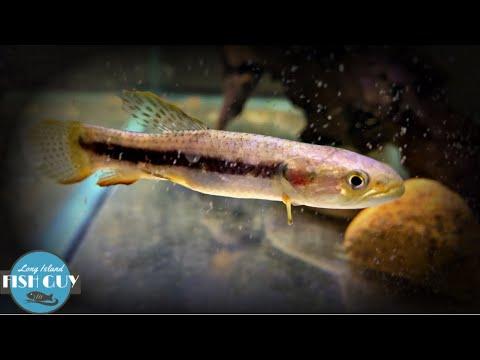 Red Wolf Fish - The Aquarium Predator!