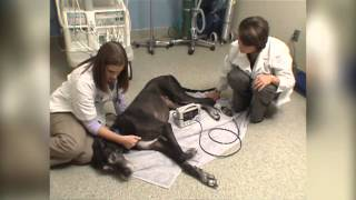 B-roll Video Veterinarians Treating Great Dane And Cavalier King Charles Spaniel For Heart Disease