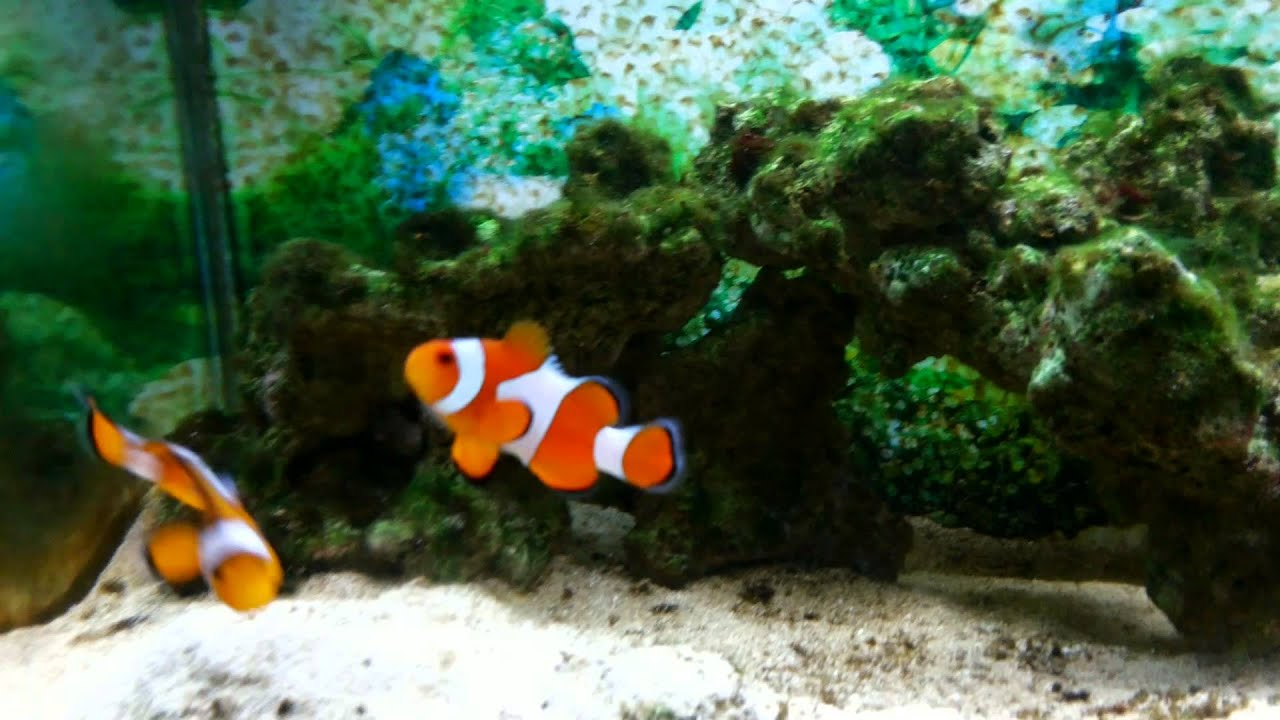 Fish in nemo aquarium - Salt Water Nemo Fish Indonesia