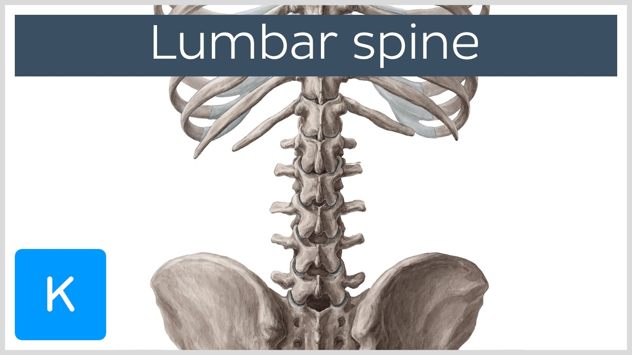 Lumbar Spine Anatomy And Function Human Anatomy Kenhub Youtube