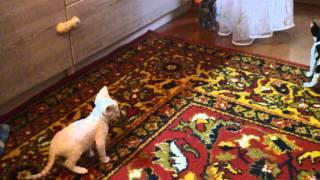 Котята Девон-рекс 41 день