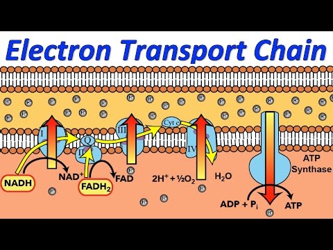 Electron Transport Chain (Music Video)