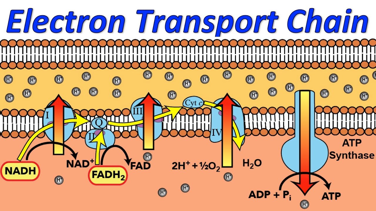 electron transport chain simple diagram 1974 toyota fj40 wiring music video youtube