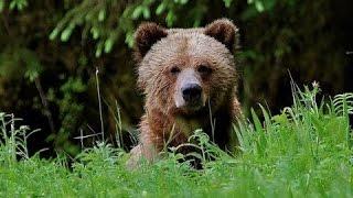 Симпатичные Дикие животные медведи - Милые животные видео сборник