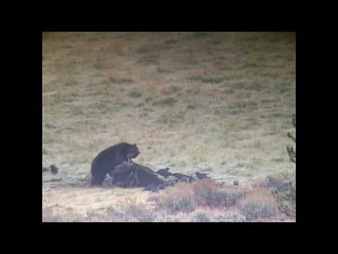 Grizzly Bear on Bison Carcass - Yellowstone National Park