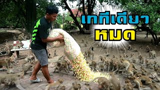 """One hundred thousand of the monkeys with snacks in Thailand"" Let's see how they do"