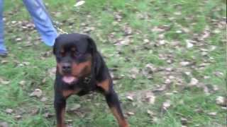 Managing Rottweiler Temperament